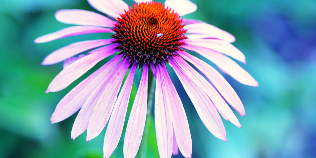 WHAT IS ECHINACEA ROOT?